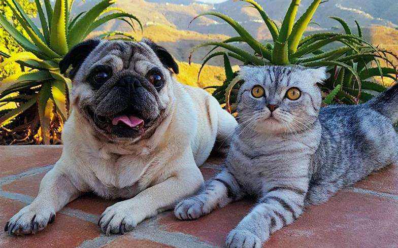 Resultado de imagen para pug and cat